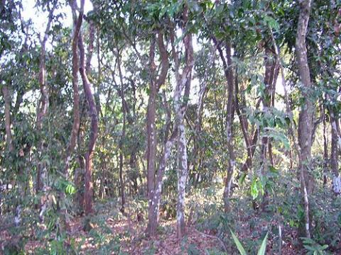 Ebonytreeforest
