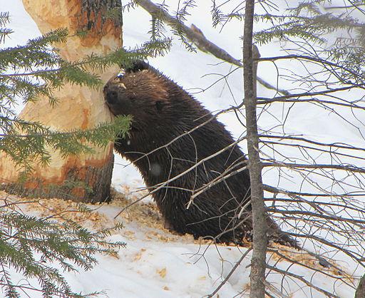 512px-American_Beaver,_tree_cutting