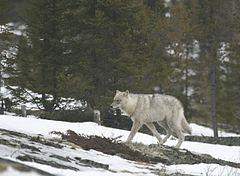 240px-Quebec_wild_wolf