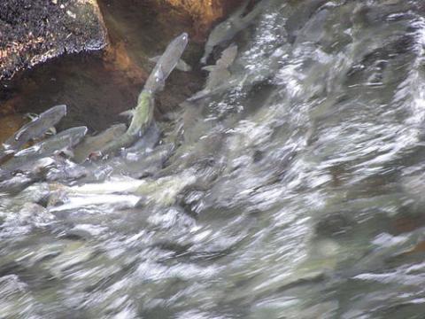 Salmon_swimming_upstream_in_Ketchikan_Creek_2