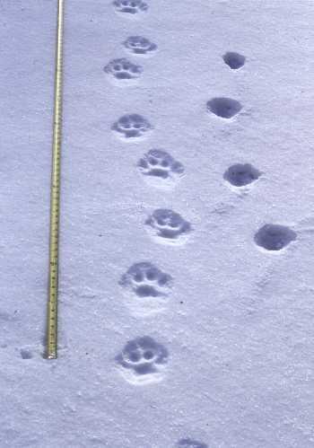краснодаре субботу следы рыси на снегу фото артист