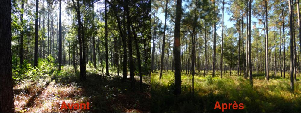"""Visualisation de l'effet du brûlage dirigé dans une plantation de """"loblolly pine"""" (Photos: J. Riopel)"""