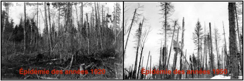 Photos des épidémies de la TBE des années 1920 et 1950 en Mauricie (Source: archives de la Consolidated Paper Corporation Ltd - Produits Forestiers Résolu, Grand-Mère) .