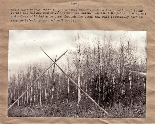 Explications sur la dynamique après feu d'un peuplement mélangé. Le feu a eu lieu il y a 20 ans et il est anticipé que les résineux prendront le dessus d'ici une vingtaine d'années. (Photo probablement de la Wayagamack dans les années 1920, Source: Fonds d'archives de Produits Forestiers Résolu à Grand-Mère)