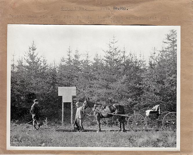 Parcelle expérimentale de la Wayagamack dans un peuplement de pin gris issu d'un feu de 1908. (Photo de 1925, Source: Fonds d'archives de Produits Forestiers Résolu à Grand-Mère)