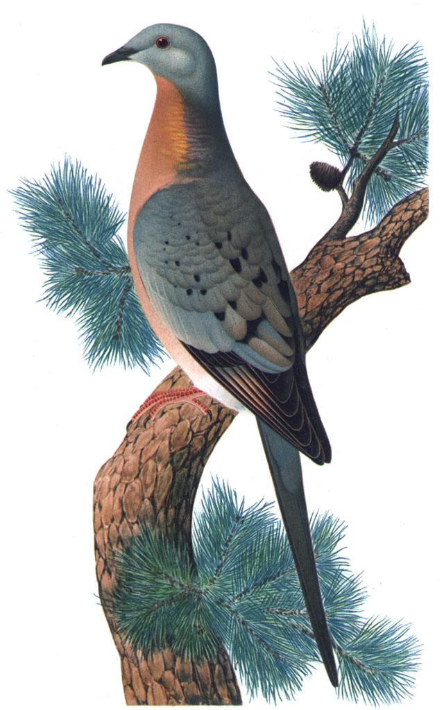 Pigeon migrateur, Ectopistes migratorius